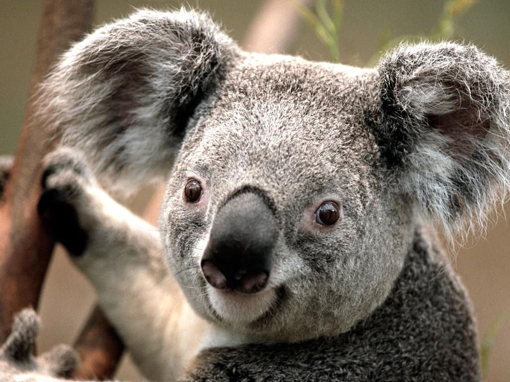 Я коала, хо-хо-хо! Но на самом деле я император панд. Стучите по моему чайному столику!